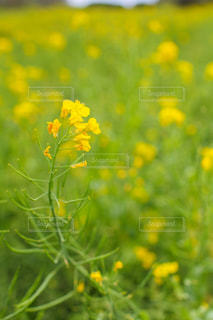 まかいの牧場の菜の花畑の写真・画像素材[1858789]