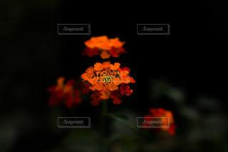 ランタナの花の写真・画像素材[1858794]