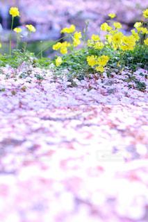 菜の花と桜の写真・画像素材[1869350]