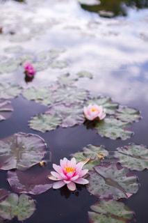ピンクのハスの花の写真・画像素材[1871113]
