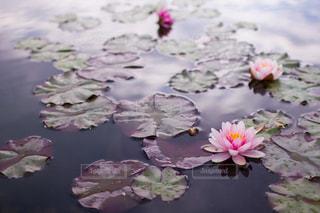 池に浮かぶ蓮の花の写真・画像素材[1871114]