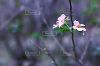 熱海梅園ピンクの花の写真・画像素材[1871449]