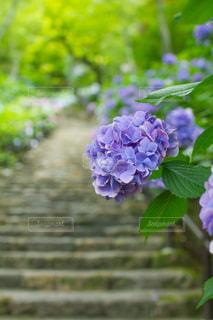 奈良県長谷寺の紫陽花の写真・画像素材[1872951]