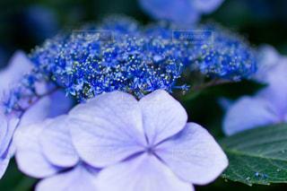 紫陽花のアップの写真・画像素材[1872953]