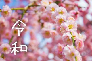 令和と梅の花の写真・画像素材[1882688]