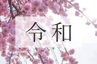 令和と梅の花の写真・画像素材[1882690]