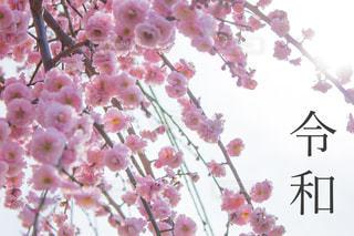 令和と梅の花の写真・画像素材[1882713]