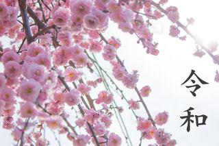 令和と梅の花の写真・画像素材[1882714]