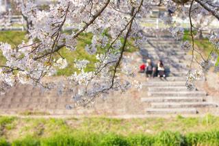 佐保川でデートお花見の写真・画像素材[1998267]