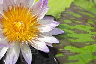 ハスの花の写真・画像素材[1998308]