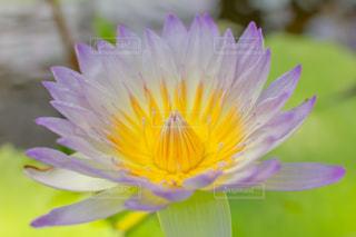 ハスの花の写真・画像素材[1998310]