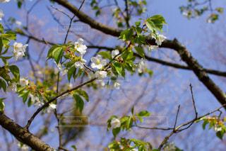 うすみどり桜の写真・画像素材[1998364]