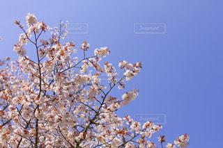 青空と桜の写真・画像素材[1998365]