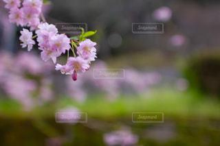 吉野桜の写真・画像素材[1998389]