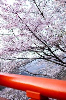 吉野桜と橋の写真・画像素材[1998391]