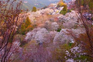 吉野桜の景色の写真・画像素材[1998393]