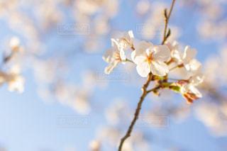 桜の写真・画像素材[2021117]