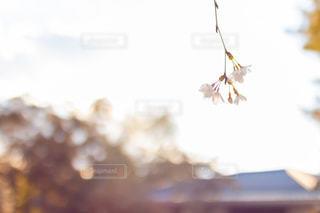 桜の写真・画像素材[2021118]