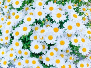 白い花のデイジーの写真・画像素材[2048517]