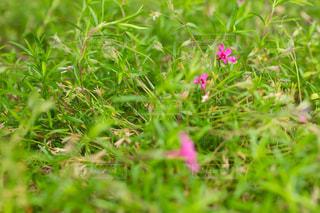 公園の雑草とピンク色の花の写真・画像素材[2182468]