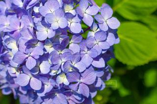 紫陽花の写真・画像素材[2247230]