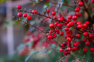 赤い実のセンリョウ、マンリョウの写真・画像素材[2953404]