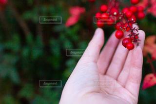 センリョウ、マンリョウの赤い実の写真・画像素材[2953410]