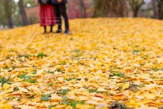 京都御苑のイチョウの落ち葉とカップルのデートの写真・画像素材[2953455]