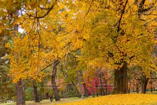 京都御所のイチョウの写真・画像素材[2953452]