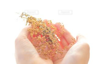 黄色の花のミモザを手に持つの写真・画像素材[3658404]