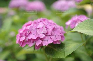 紫陽花の写真・画像素材[1824148]