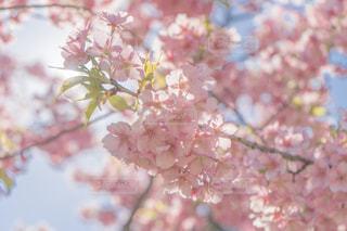 桜の花のアップの写真・画像素材[1854192]