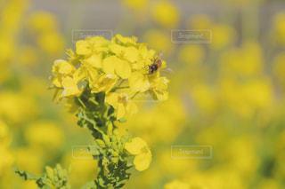 菜の花と蜜蜂の写真・画像素材[1874755]