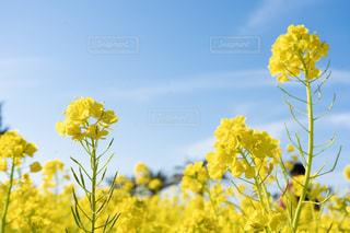 青空と菜の花の写真・画像素材[1874757]