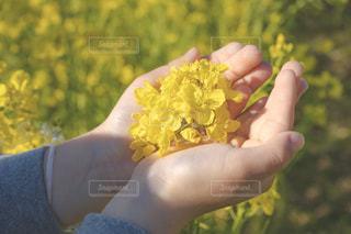 菜の花を包み込む子供の手の写真・画像素材[1874759]