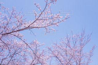 桜の写真・画像素材[2086042]