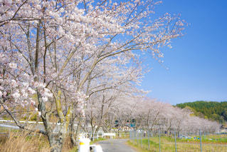 桜並木 山の写真・画像素材[2086043]