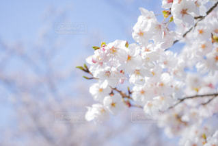 さくら 桜 サクラの写真・画像素材[2086045]