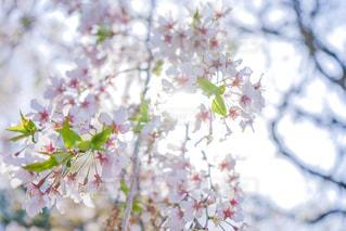 桜の写真・画像素材[2086047]