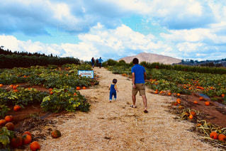 かぼちゃ畑🎃の写真・画像素材[1804440]