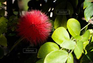 赤い丸いトゲトゲの花の写真・画像素材[1851222]