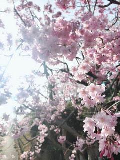 桜の木漏れ日の写真・画像素材[1841213]