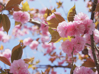 桜餅みたいな桜の写真・画像素材[1812621]