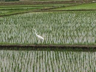 田んぼの白鷺の写真・画像素材[1820581]