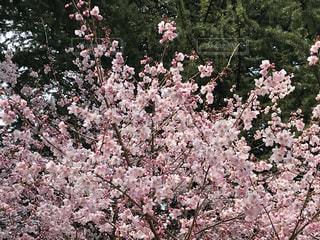 ピンクの花で満たされた花瓶の写真・画像素材[3054201]