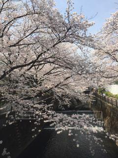 満開の桜の写真・画像素材[1806770]