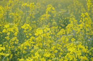 美しい菜の花に魅了される蜂🐝の写真・画像素材[1808102]