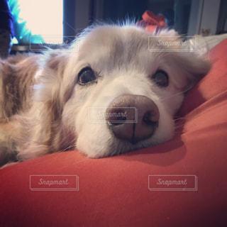 人をダメにするソファでくつろぐ犬の写真・画像素材[1807699]