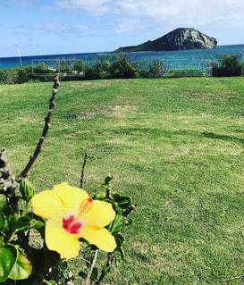 ハワイのハイビスカスの写真・画像素材[1807754]