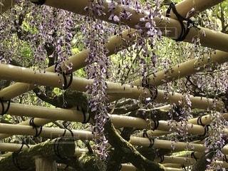 藤の花の写真・画像素材[2237487]